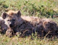 基于平原的一条孤立鬣狗 库存图片