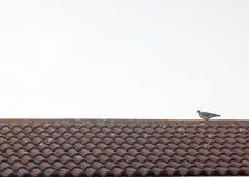 基于房子屋顶上面的鸽子在太阳集合 免版税库存图片