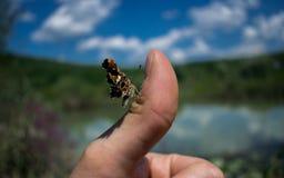 基于拇指的蝴蝶在池塘附近 图库摄影