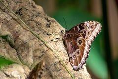 基于日志的布朗蝴蝶 库存照片