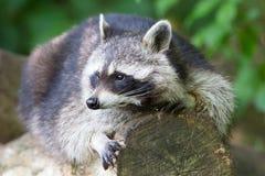 基于日志的浣熊 免版税库存图片