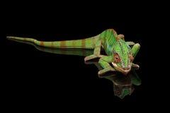 基于有尾巴的黑镜子的豹变色蜥蜴,被隔绝 库存图片