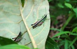 基于有选择聚焦的下落的叶子的两只充满活力的绿色和紫色蚂蚱 免版税库存照片