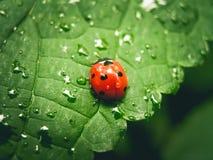 基于有露水的一片叶子的瓢虫 免版税库存图片