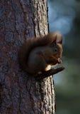 基于杉树分支的红松鼠  免版税图库摄影