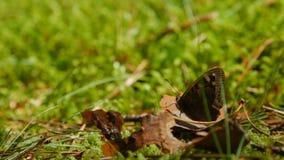 基于束手无策的叶子的草甸棕色蝴蝶 股票录像