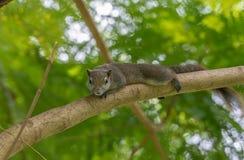 基于树枝的灰鼠 库存照片