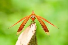 基于树枝的红色蜻蜓 库存照片