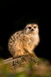 基于树枝的逗人喜爱的meerkat动物 免版税图库摄影