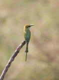 基于树枝的绿色食蜂鸟 免版税库存照片