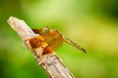基于树枝的蜻蜓 库存图片