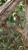 基于树枝的黑长尾小猴 免版税库存照片