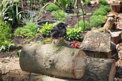 基于树桩的幼小寒鸦在阳光下 免版税库存照片