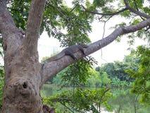 基于树的一个大分支的监控蜥蜴在一个植物园在泰国 库存图片