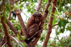 基于树的抓住衣领口的棕色狐猴 免版税图库摄影