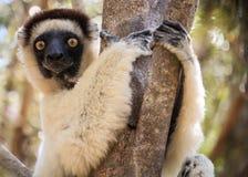 基于树的Sifaka狐猴的画象, Kirindy森林, Menabe,马达加斯加 库存照片
