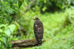 基于栖息处的有顶饰蛇老鹰 免版税库存图片