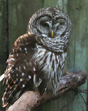 基于栖息处的条纹猫头鹰 免版税库存照片