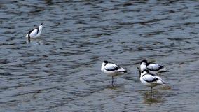 基于池塘的染色长嘴上弯的长脚鸟 库存照片