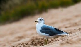 基于沙丘的海鸥 免版税库存图片