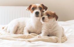 基于沙发的两条狗 免版税库存图片