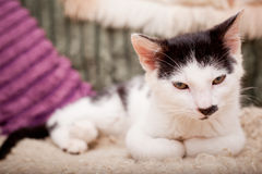 基于沙发的幼小猫 免版税图库摄影