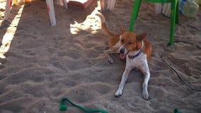 基于沙滩的愉快的狗,摇摆它的尾巴-慢动作25p 股票视频