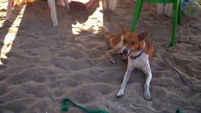 基于沙滩的愉快的狗,摇摆它的尾巴-慢动作30p 影视素材