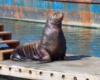 基于浮船坞的加利福尼亚海狮 库存图片