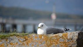 基于海滨冰砾的美丽的海鸥在温暖的阳光下 影视素材
