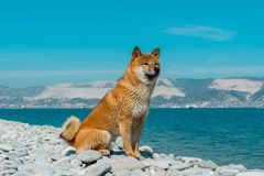 基于海滩的幼小家谱狗 坐在新罗西斯克号的黑海附近的红色shiba inu狗 库存照片
