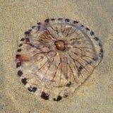 基于海滩的水母 图库摄影