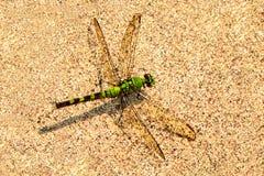 基于温暖的混凝土的一只绿色蜻蜓 免版税库存图片