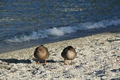 基于湖岸的鸭子 免版税库存照片