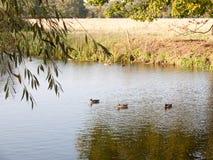 基于湖的美丽的野鸭在夏天c浇灌表面上面 库存图片