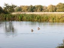 基于湖的美丽的野鸭在夏天c浇灌表面上面 库存照片
