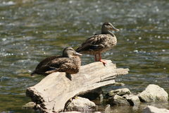 基于漂泊木头的鸭子 图库摄影