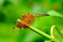 基于灌木分支的蜻蜓 图库摄影