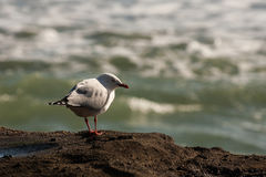 基于火山岩的海鸥 免版税库存图片
