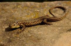 基于石头的蜥蜴 免版税库存照片