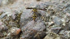 基于石头的一次完善的黄蜂仿造surphid飞行 影视素材