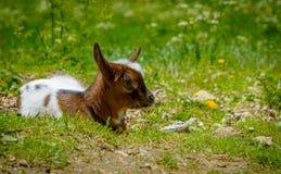 基于绿草的一只幼小山羊 库存照片