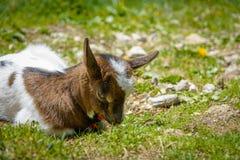 基于绿草的一只幼小山羊 免版税库存图片