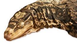 基于老石头的一只大蜥蜴 免版税库存照片