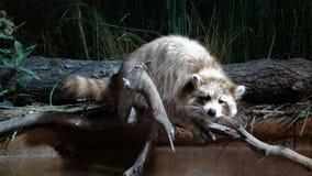 基于肢体的浣熊 免版税库存照片