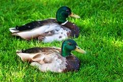基于肩并肩绿草的两只公野鸭鸭子 免版税库存图片