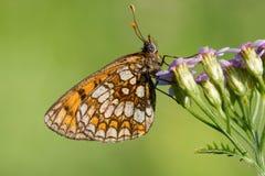 基于花的一只美丽的蝴蝶 库存图片