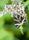 基于花的五颜六色的飞蛾养育用花蜜 库存照片
