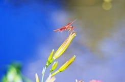 基于花的猩红色蜻蜓 免版税库存图片