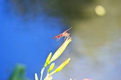 基于花的猩红色蜻蜓 图库摄影